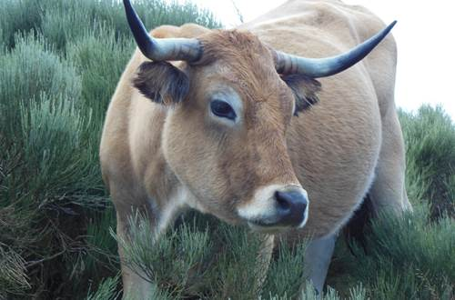 vache ©