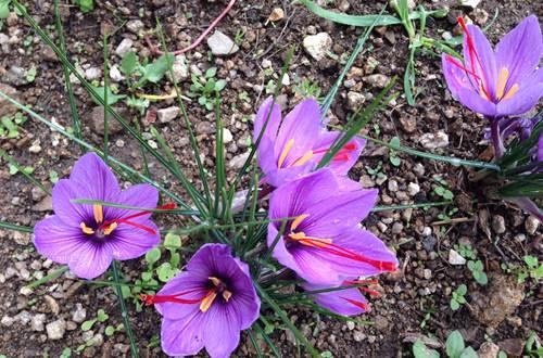 Fleurs de Safran ©