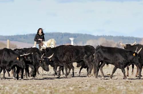 Manade Devaux troupeau de taureaux de Camargue © Manade Devaux