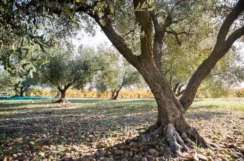 theziers oliviers © muolin de romanou