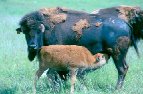 Randals Bison ©
