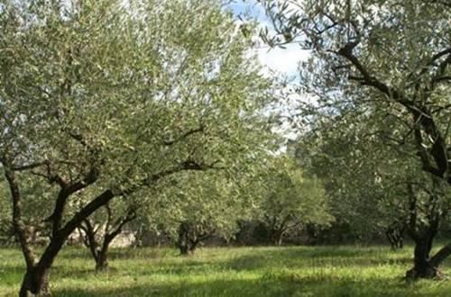 Pierre sèche et olivette ©