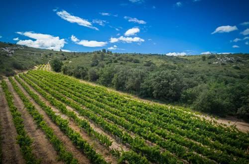 Vigne en bordure des Gorges du Gardon, entourée de garrigues © 2017-Hervé Leclair Asphéries-Sud de France Développement