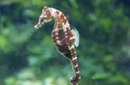 Seaquarium - Hippocampus ©