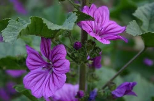 mauve-plante-infuse ©