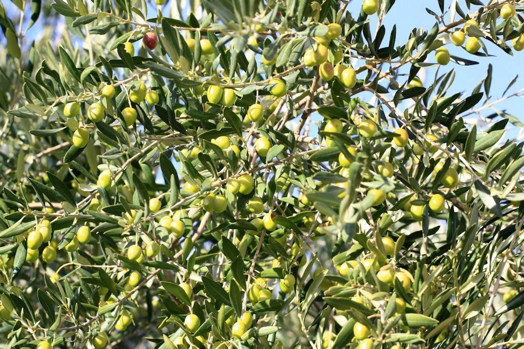 Olive sur son arbre